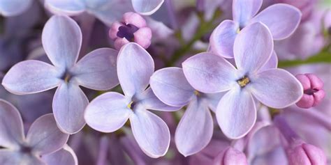 grow  lilac bush tips  growing lilac