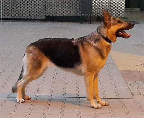 Ee  German Shepherd Ee