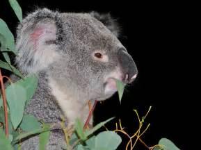 Koala Bear Eucalyptus Meme