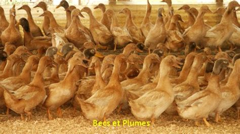 le canard orpington