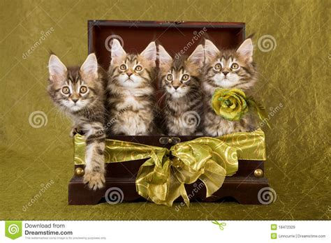 maine coon kittens  wooden box royalty  stock images