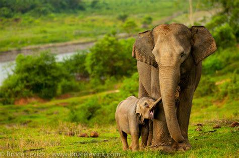 Saving The Sumatran Elephant From Extinction