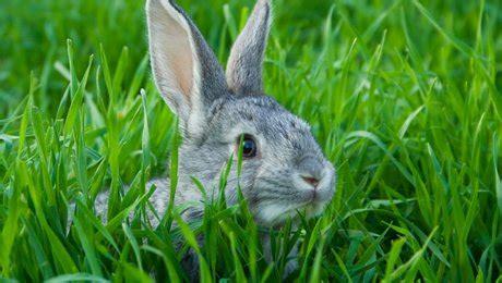 comment cuisiner du lapin eloigner les lapins de jardin minutefacile com