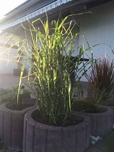 Chinaschilf Im Kübel : berh ngendes zebra chinaschilf 39 zebrinus 39 miscanthus sinensis 39 zebrinus 39 baumschule horstmann ~ Frokenaadalensverden.com Haus und Dekorationen