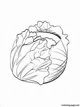 Cabbage Coloring Pages Printable Vegetables Drawing Fruits Others Site 1coloring sketch template
