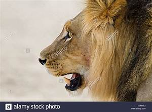 Lion Head Drawing - The Best Lion In 2018