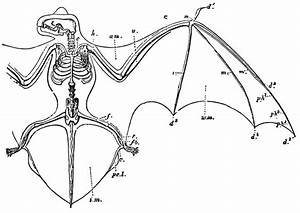 Bat Skeleton Diagram