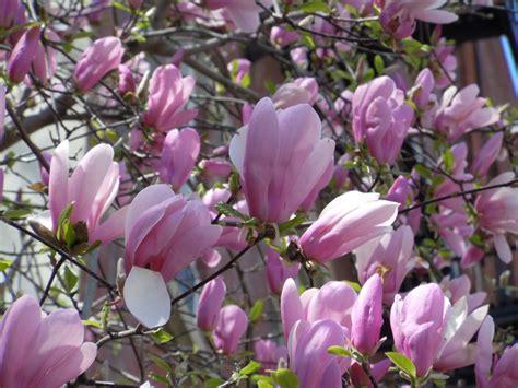 purple magnolia trees jane magnolia tree info www imgkid com the image kid has it