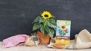 Sonnenblume Im Topf : sonnenblumen pflanzen anleitung f r topf beet balkon plantura ~ Orissabook.com Haus und Dekorationen