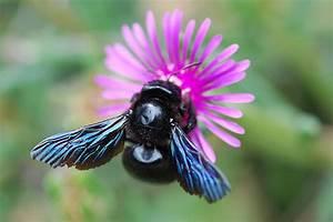 Großer Schwarzer Käfer Bilder : komm gro er blauer k fer foto bild tiere wildlife insekten bilder auf fotocommunity ~ Frokenaadalensverden.com Haus und Dekorationen