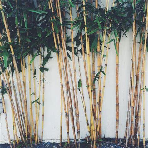 Bambus Garten Pflanzen Kölle by Bambus Pflanzen Und Pflegen Darauf Kommt Es An Brigitte De