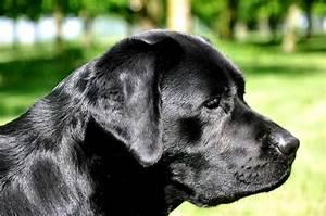 Labrador retriever pups fokker