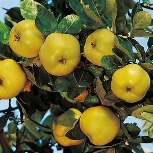 Quince Tree - Vranja - Dobies