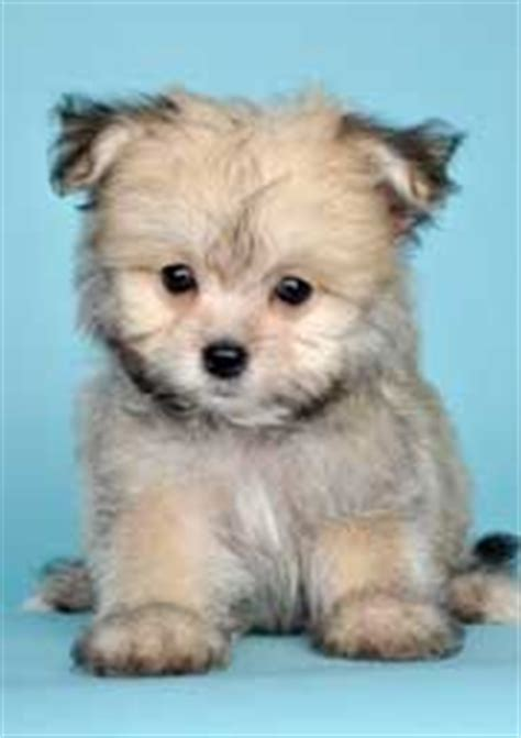 a maltese pomeranian mix if they don t shed i want one