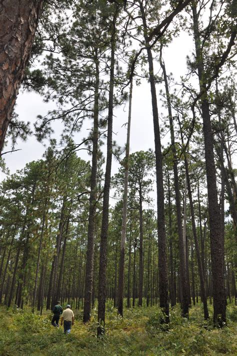 alabama coushatta texas indian reservation pine trees tribe longleaf pines growing moon eastern usda tall thin pineywoods