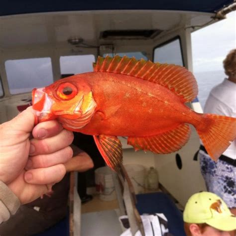 hawaiian reef fish species   catch  maui hawaii