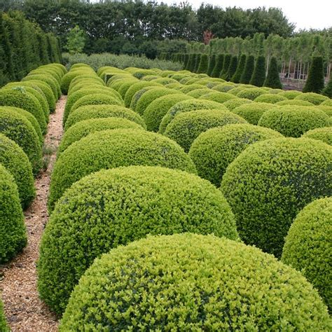 Buy common box ball Buxus sempervirens: £89 99 Delivery