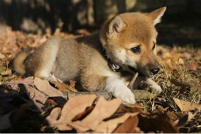 Shiba Inu Animal Planet Puppy Toshi Took