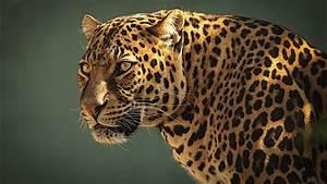 Nature, Eyes, Animals, Jaguar, Feline, 1920x1080, Wallpaper, High, Quality, Wallpapers, High, Definition