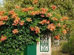 Rankpflanzen Winterhart Immergrün : wilder wein ist eine schnell wachsende kletterpflanze ~ A.2002-acura-tl-radio.info Haus und Dekorationen