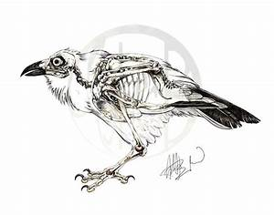 Corvus Corax  Common Raven Skeleton On Behance