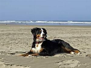 Berner Sennenhund Gewicht : berner sennenhund ben tigt viel aufmerksamkeit ~ Markanthonyermac.com Haus und Dekorationen