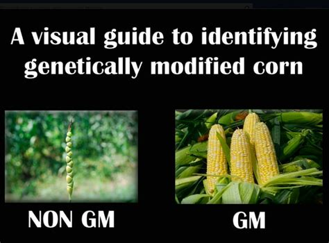 Corn Memes - genetically modified food quotes like success