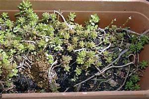Entretien Plantes Grasses : sedum joubarbe et plantes grasses ~ Melissatoandfro.com Idées de Décoration