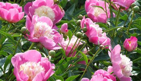 kamerplant met rose bloemen assortiment vaste planten met kleurrijke bloemen