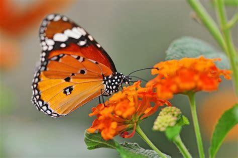orange butterfly  orange flowers   picture