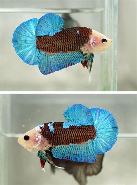 275 best betta fish on betta fish care aquarium and aquariums
