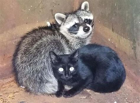 kitten  raccoon  cuddled  dumpster