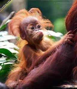 Cute Orangutan Baby | lauraagudelo272