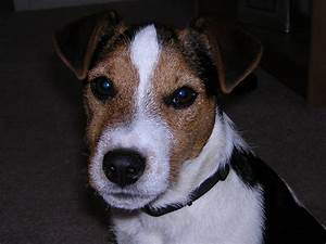 Black And White Jack Russell Terrier Beagle Mix   www ...