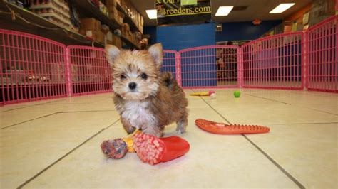 adorable non shedding tcup morkie puppies for sale georgia
