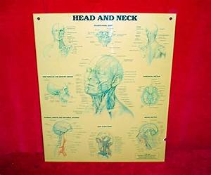 Anatomical Chart Company Head  U0026 Neck Muscles  Nerves
