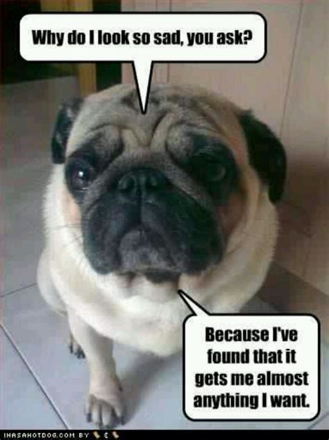 Sad Pug Meme - how sad can you go cool animals pinterest pug sad and lol