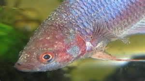 aquarium fish diseases