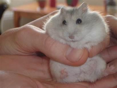 Hamster Dwarf Russian Care Winter Hamsters Hand