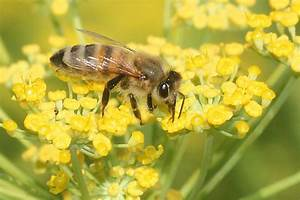 Warum Machen Bienen Honig : keine angst vor bienen nabu mecklenburg vorpommern ~ Whattoseeinmadrid.com Haus und Dekorationen