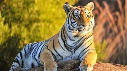 Tiger Animals Desktop Wallpapers Background Animal Wild