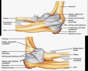 Reflexology Charts For Sale Human Anatomy And Physiology Diagrams Ulnar Collateral
