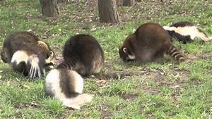 Was Fressen Waschbären : skunks und waschb ren fressen zusammen youtube ~ Frokenaadalensverden.com Haus und Dekorationen
