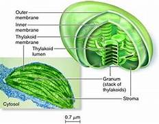 Gallery For > Chloroplast Double Membrane