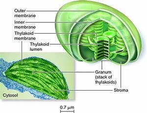 Diagram of Chloroplast   Diagram Site