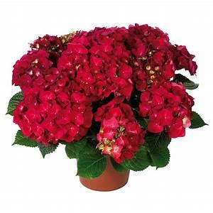 Hortensie Endless Summer Standort : hortensie 39 hot red 39 online kaufen bestellen ~ Lizthompson.info Haus und Dekorationen