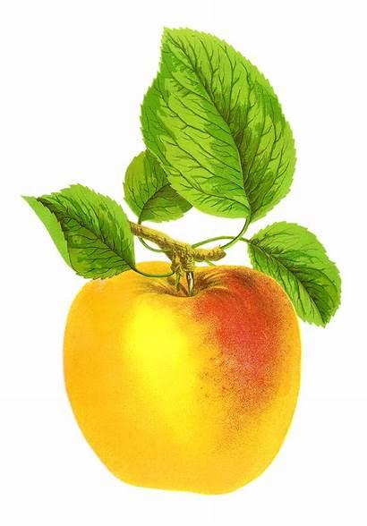 Clip Fruit Apple Golden Digital Clipart Antique