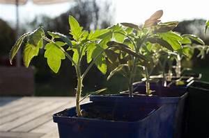 Pied De Beuh : planter les tomates repiquer les plants de tomate jardinews ~ Medecine-chirurgie-esthetiques.com Avis de Voitures