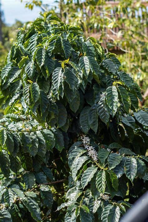 Hawaii photography   haleiwa coffee plantation by douglas page. Mountain Thunder Coffee Plantation Tour - Kona, Hawaii 10 - Madison Fichtl