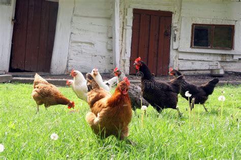 galline da cortile galline sul cortile paese immagine stock immagine di